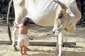 toddler_cow