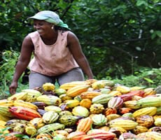 cocoa smuggling