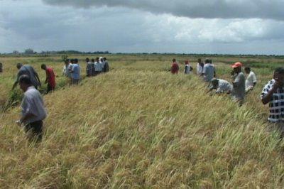 Rice famers