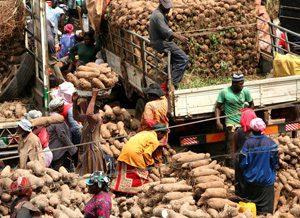 Yams at the Kokomba market