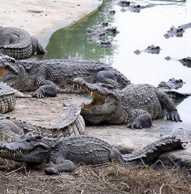 woman-eaten-by-dozens-of-crocodile...