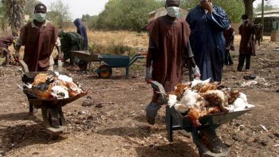Aregbesola, Osun farmers move to forestall spread of Bird Flu