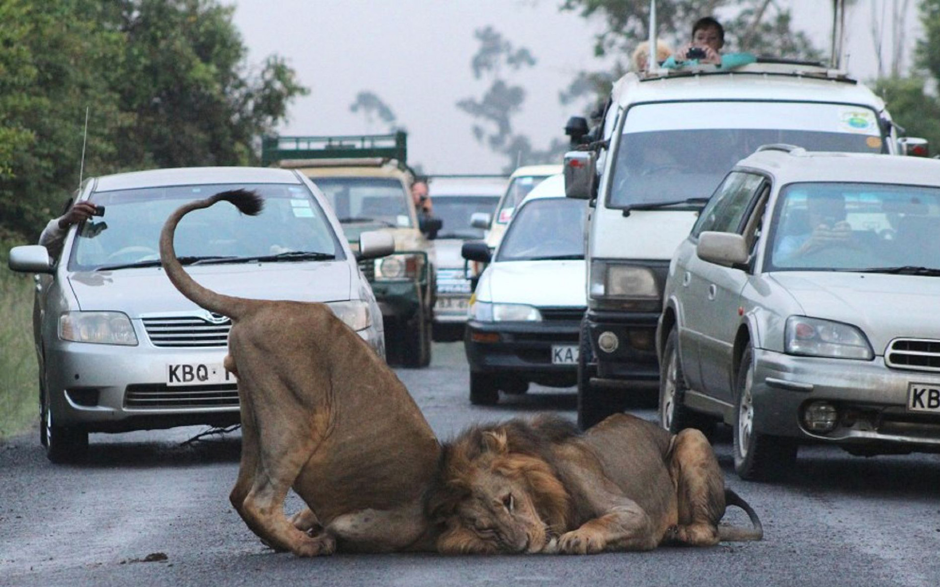 Lions at Nairobi Park