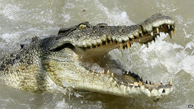 The animal killed in Mexico was from the Crocodylus acutus species