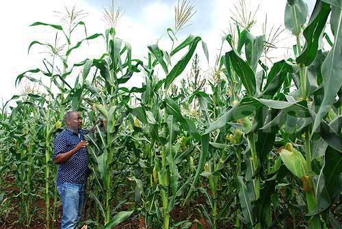 Kakooza on his maize plantation