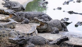Woman gets killed by 100's of crocodiles