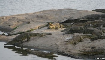 Are Crocodiles and hippos amphibians?