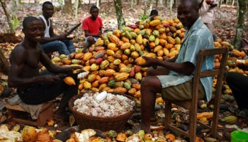 Cocoa Farmers Drifting Into Illegal Gold Mining
