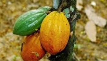 Cocoa farmers cry foul over unfair distribution