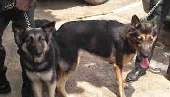 Wild Dogs Attack 4-Year Omonigho In Lagos