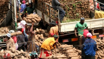 Yam consumption in Ghana is estimated at 42 kg/annum