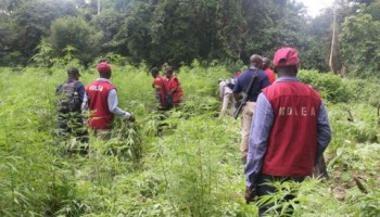 NDLEA destroys 50 hectares of Cannibis plantation in Epele