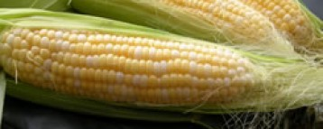 Ghana Advanced Maize Seed Adoption Program launched